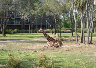 AKL Giraffe